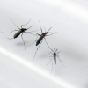 Brazil declares emergency after 2,400 babies are born with brain damage, possibly due to mosquito-borne virus