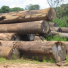 Absence of Barama and Baishanlin results in decline in log exports   -Minister Trotman