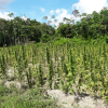 Police destroy four-acre Berbice marijuana farm