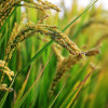 GRDB dispatches investigative team to probe reports of worms affecting rice plants in the Corentyne