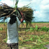 Sugar workers to get bonus as sugar production is poised to surpass target