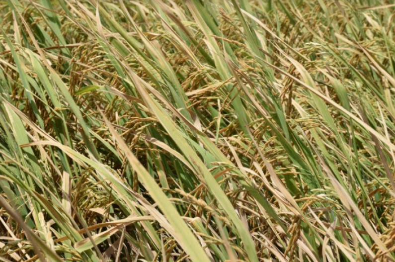 Wales Estate moving apace with rice cultivation  -Govt.