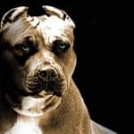 GSPCA calls for dog-fighting b...