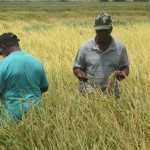 Rice production reaches record...