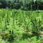 Two acres of marijuana plants destroyed at Kairuni farm