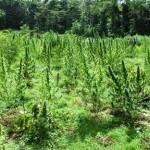 Two acres of marijuana plants destroyed at Kairuni farm
