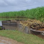 LBI sugar workers strike over dismissal of 15 cane harvesters