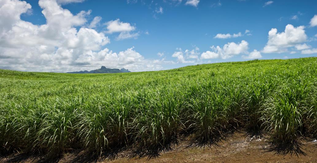 sugar_cane_field