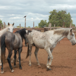 Rupununi Horse thieves nabbed