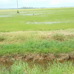 Essequibo rice farmers seek relief from impact of dry weather conditions