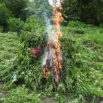 Police destroy over 2 acres of marijuana plants in Berbice river