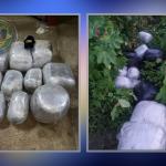 CANU finds $10 Million worth marijuana abandoned in Goat Dam; Suspects escape